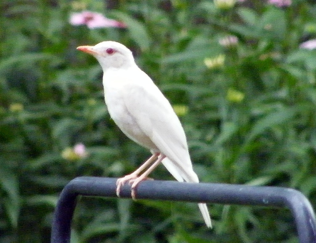 Optics Den Birding Albino Robin