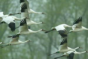 optics den birding whooping crane flock
